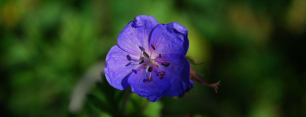 Bodziszek łąkowy (Geranium pratense)